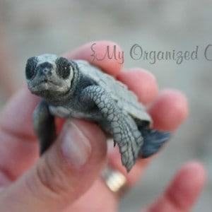 Releasing Baby Turtles into the Ocean