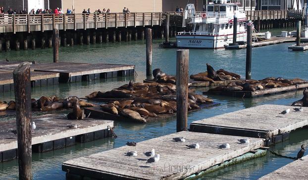 Sea Lions Fishermans Wharf San Francisco My Organized Chaos