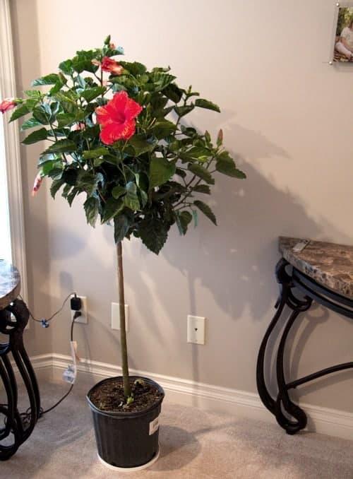hibiscus tree canada