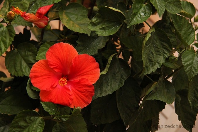hibiscus tree indoors