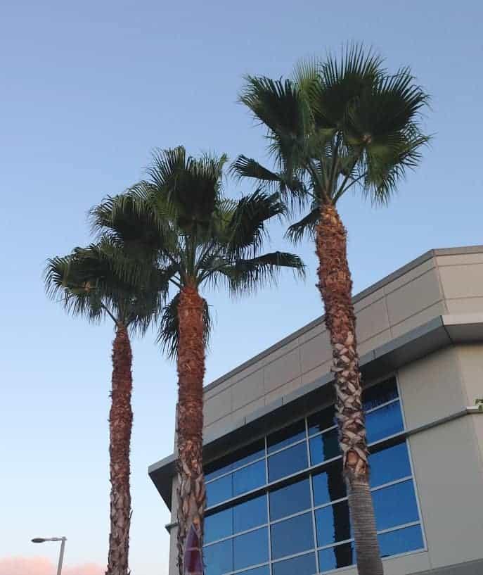 palm-trees-la