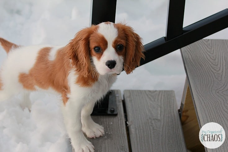 new puppy is like having a baby cavalier king charles