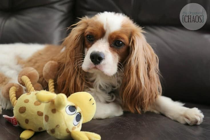 dental care for pets - charlie king charles cavalier