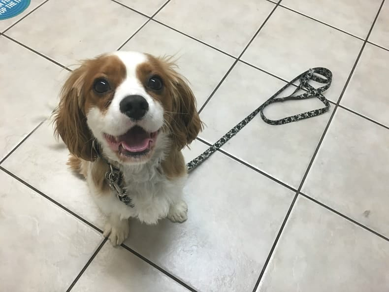 King Charles Cavalier Dental Health