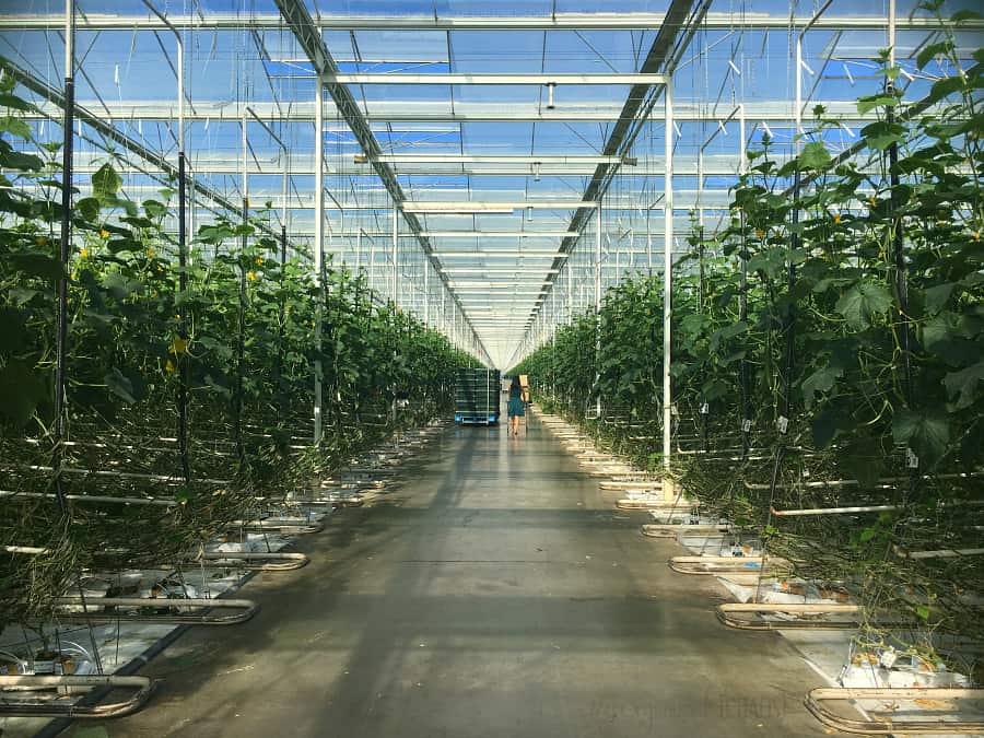 Windset Farms BC Cucumber
